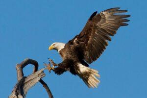 bird watching bald eagle